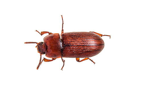 Red Flour Beetle - P.E.I. Pest Control | 500 x 334 jpeg 63kB